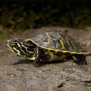 Водни костенурки