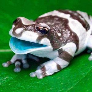 Амазонска млечна жаба – отглеждане