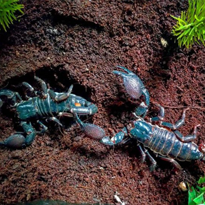 Гигантски горски скорпион – отглеждане