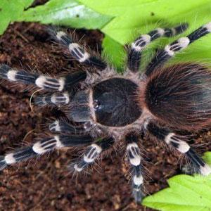 Acanthoscurria geniculata – отглеждане