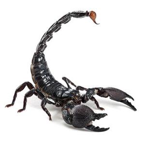 Черен горски скорпион – отглеждане