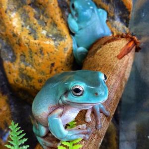 Дървесна жаба на Уайт – Отглеждане