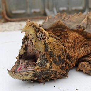 Алигаторова костенурка – Отглеждане