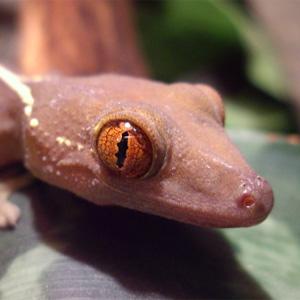 Кадифен ивичест гекон – отглеждане
