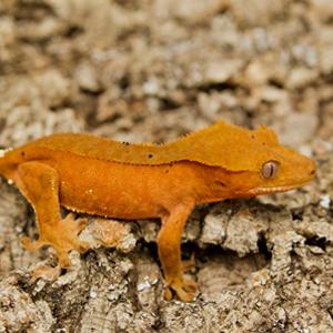 Ресничест гекон – Отглеждане