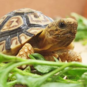 Хранене при сухоземните костенурки