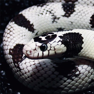 Калифорнийска кралска змия – отглеждане