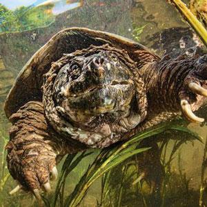 Кайманова костенурка – Отглеждане